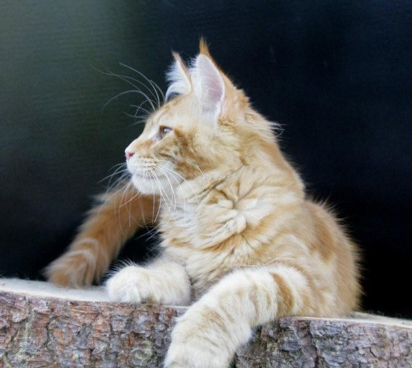 maine_coon_remember