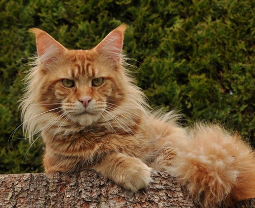 Pictures Pictures Of Maine Coon Cat
