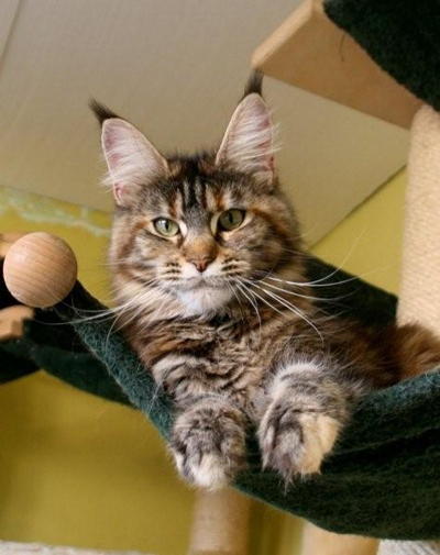 maine_coon_emely
