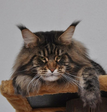 maine_coon_enzo