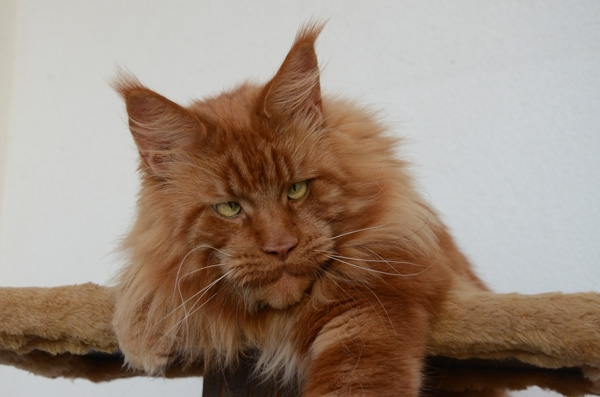 Winerau - White Luxury Faberge Maine Coon