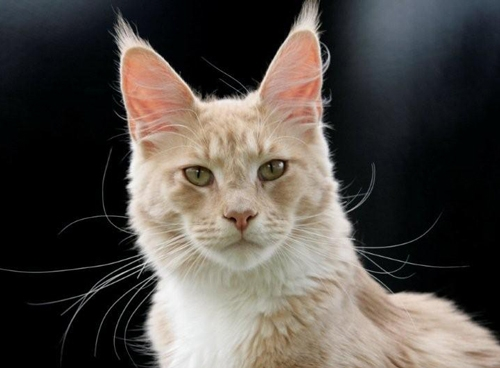 maine_coon_high_society