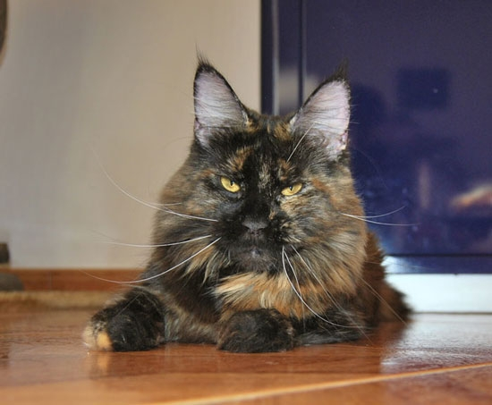 maine_coon_hope