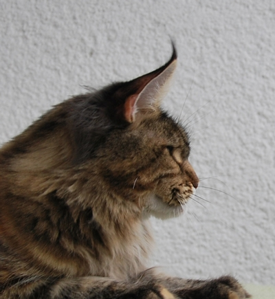 maine_coon_quendy