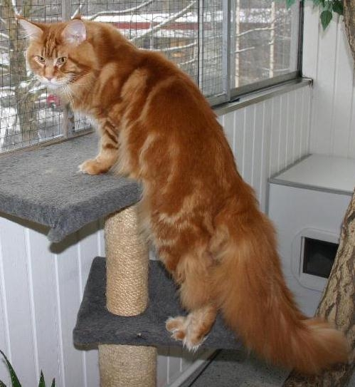 maine_coon_quiggley