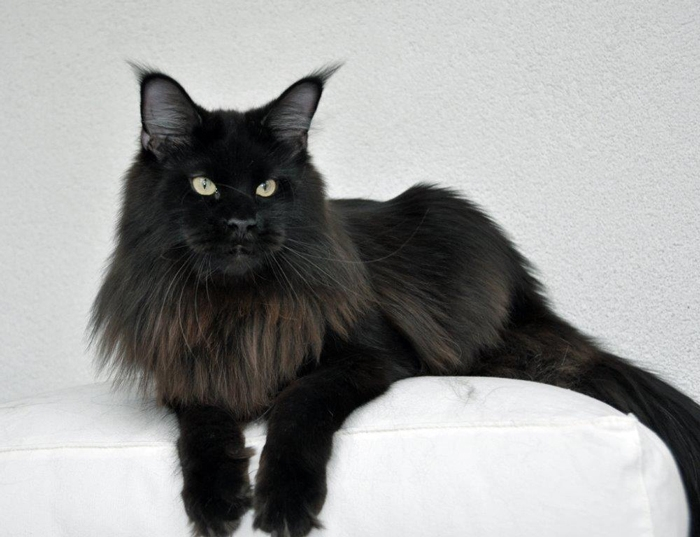 Ic Qgc Winerau Quintus Winerau Maine Coon