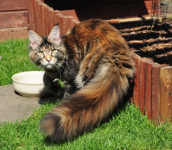 maine_coon_ruby