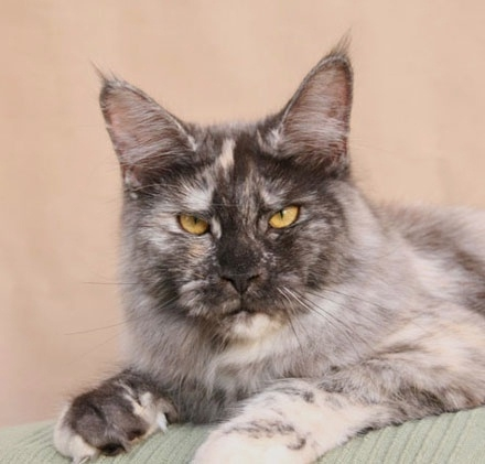 maine_coon_tracy