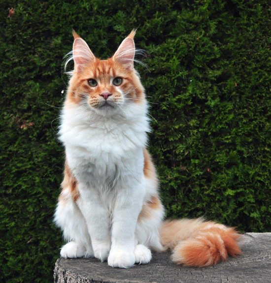 maine_coon_try