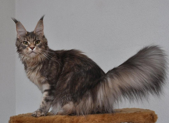 maine_coon_lupina
